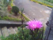 Fleur de reine de jour photographie stock