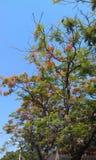 Fleur de Ren et arbre asiatique de Globeflower Photographie stock
