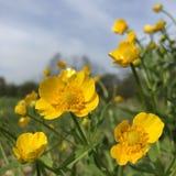 fleur de renoncule Photos stock