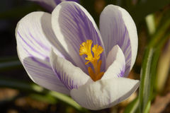 Fleur de ressort photos stock