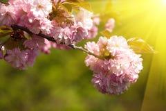 Fleur de ressort au soleil Image stock