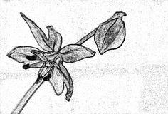 Fleur de ressort avec le bourgeon, imitation de fusain de dessin de main Images stock