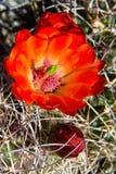 Fleur de ressort de cactus de tasse de claret photo libre de droits