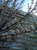 Fleur de ressort d'abricot image libre de droits