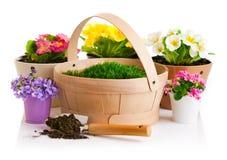 Fleur de ressort dans le pot avec le panier d'herbe verte Image libre de droits