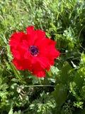 Fleur de ressort dans les collines de Judea image stock