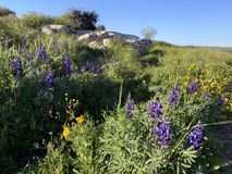 Fleur de ressort dans les collines de Judea photos stock