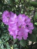 Fleur de ressort de buisson d'usine de rhododendron Image libre de droits