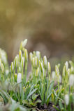 Fleur de ressort de perce-neige dans la forêt Image libre de droits
