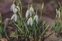 Fleur de ressort de perce-neige dans la forêt Photos stock