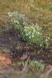 Fleur de ressort de perce-neige dans la forêt Images stock