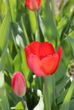 Fleur de ressort de fleurs de tulipes dans le jardin Photos libres de droits