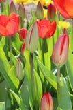 Fleur de ressort de fleurs de tulipes dans le jardin Images libres de droits