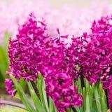 Fleur de ressort.  jacinthe Images stock