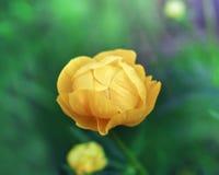 Fleur de ressort jaune de Trollius jolie Photo stock