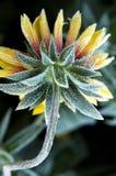 Fleur de revêtement de gelée Image libre de droits
