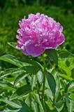 Fleur de rhododendron photographie stock