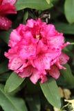 Fleur de rhododendron Photos libres de droits
