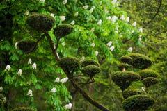 Fleur de rhododendron et art topiaire dans Maulivrier japonais images stock