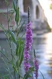Fleur de rivière photo libre de droits