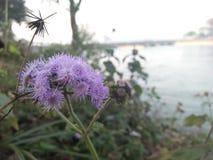 Fleur de rivière Images libres de droits