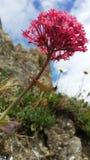 Fleur de roche Photos stock