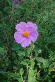 Fleur de rockrose de rose de Labdanum photographie stock