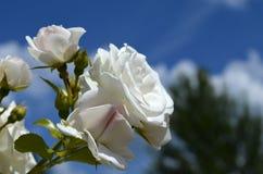 Fleur de Rosa Photos libres de droits