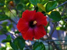 Fleur de rosa-sinensis de belle ketmie rouge de Shoeblackplant jolie Photo stock