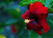 Fleur de rosa-sinensis de belle ketmie rouge de Shoeblackplant jolie Photographie stock