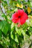 Fleur de rosa-sinensis de ketmie Image libre de droits