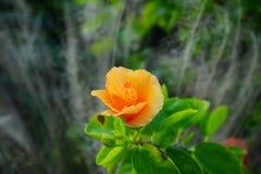 Fleur de rosa-sinensis de ketmie Images stock