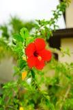 Fleur de rosa-sinensis de ketmie Photo libre de droits