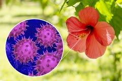 Fleur de rosa-sinensis de ketmie avec la vue en gros plan de ses grains de pollen Photos libres de droits