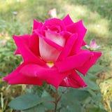 Fleur de Rose image libre de droits