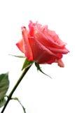 Fleur de Rose avec des baisses de rosée Photo libre de droits