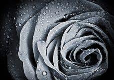 Fleur de Rose avec des gouttelettes d'eau Photos stock