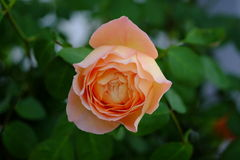 Fleur de Rose avec la feuille verte sur le fond Images stock