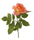 Fleur de Rose avec la lame verte Photos libres de droits