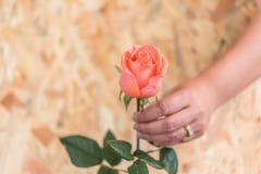 Fleur de rose de rose avec la Saint-Valentin humaine de main Photo libre de droits