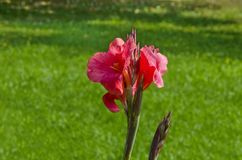 Fleur de fleur rose de canna dans le domaine Image libre de droits