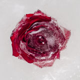 Fleur de Rose congelée dans le bloc de glace Plan rapproché Photos stock