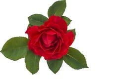 Fleur de rose d'écarlate Images libres de droits