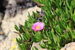 Fleur de rose d'Iceplant sur une pente de plage Photos libres de droits