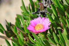 Fleur de rose d'Iceplant sur une pente de plage Photographie stock libre de droits