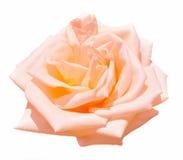 Fleur de Rose d'isolement sur le fond blanc Photo stock