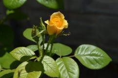 Fleur de Rose dans la photo de plan rapproché de jardin Images libres de droits