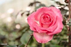 Fleur de Rose dans la rétro image Photographie stock