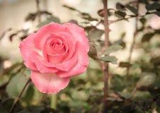 Fleur de Rose dans le rétro style Image libre de droits