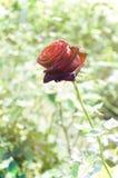 Fleur de Rose dans le rétro style Photographie stock libre de droits